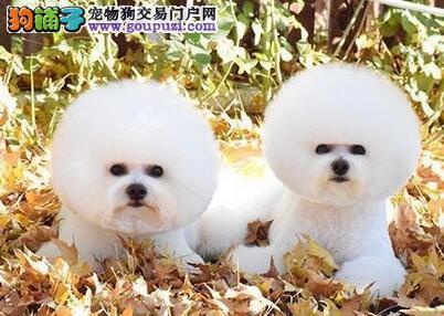 广州自家繁殖的卷毛比熊犬找新主人 数量有限不要错过