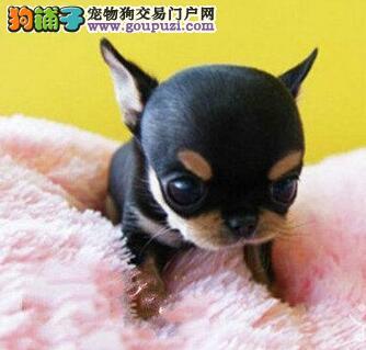 通灵性十分乖巧的广州吉娃娃幼犬出售 可随时上门选购