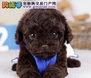 广州繁殖基地直销三个月的泰迪犬 公母均有任君选择犬