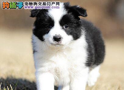品相好保健康的广州边境牧羊犬低价出售 售后三包协议
