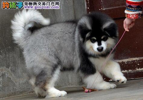广州熊版巨型阿拉斯加犬幼犬桃脸十字脸签终身协议