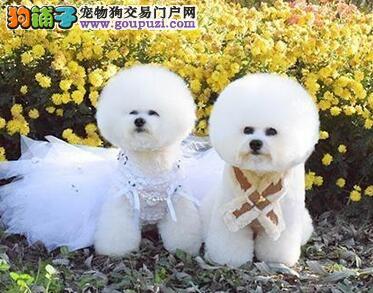 亳州比熊转让家养纯种大眼睛卷毛比熊犬棉花糖比熊幼犬