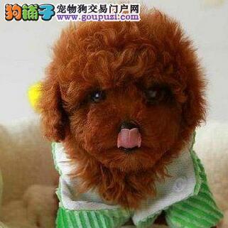 西安自家繁殖高品质各种颜色贵宾犬宝宝 欲购从速4
