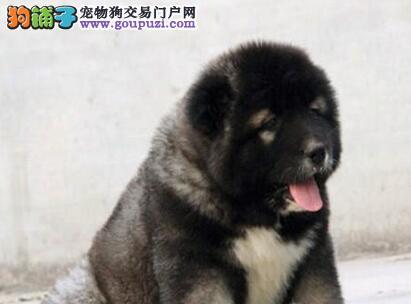 可看家护院的高加索犬低价转让 广州的朋友请上门选购
