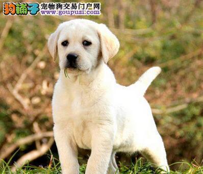 正规犬舍直销宝鸡拉布拉多犬温顺可爱签售后