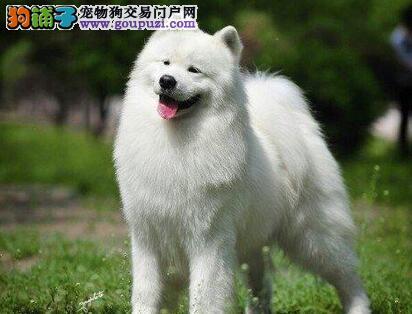 北京养殖狗场转让雪白色的萨摩耶幼犬 保障售后品质