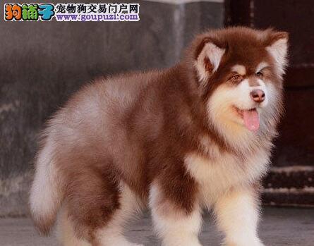 家养纯种阿拉斯加雪橇犬出售海口地区可上门看狗