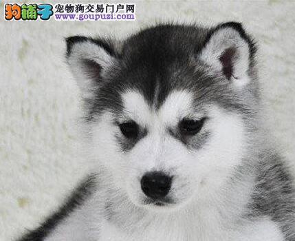 郑州正规犬舍出售哈士奇 蓝眼三把火包纯种1