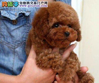 茶杯体卷毛的泰迪犬优惠促销开封地区可送货