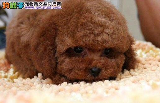 沈阳养殖场繁殖多只极品泰迪犬促销包养活签合同2