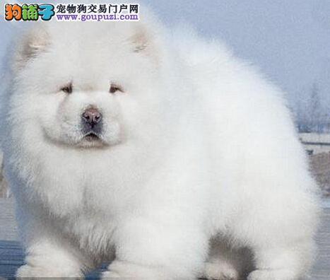 石家庄大型繁育中心出售纯种肉嘴紫舌松狮犬 签合同
