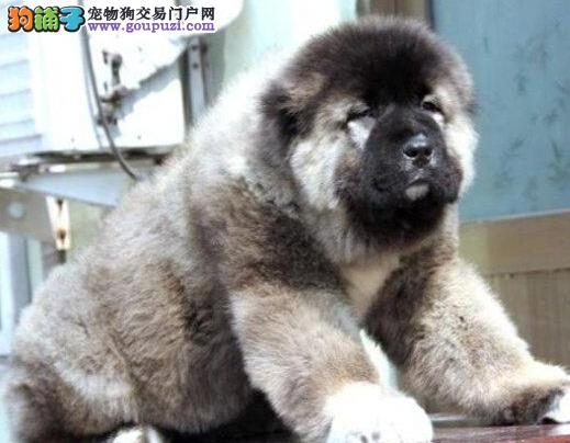 天津健康纯种可爱高加索犬宝宝出售驱虫疫苗已做包养活