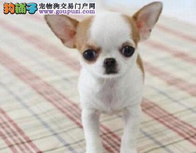 秦皇岛专业繁殖吉娃娃犬签协议死亡包赔已做疫苗驱虫