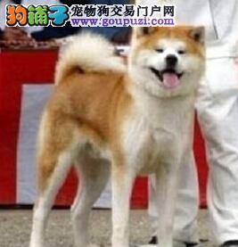 直销出售优质日系南宁秋田犬 对主人忠诚可享受优惠
