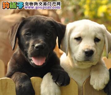 直销价格出售优秀南宁拉布拉多犬 已做好进口疫苗