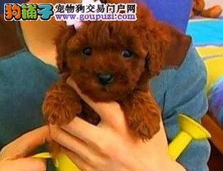 南宁本地狗场直销出售顶级优秀贵宾犬 保证身体健康