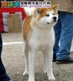 出售秋田犬健康养殖疫苗齐全质保协议疫苗驱虫齐全
