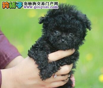 深圳自家犬业出售韩系贵宾犬 国外引进血统保证纯度1