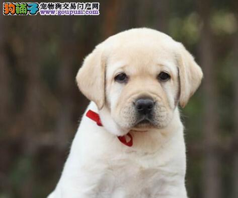 纯血统拉布拉多幼犬,血统纯正包品质,当天付款包邮