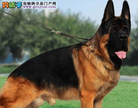 杭州知名犬舍纯种顶级德国牧羊犬 毛量大大头版品相好