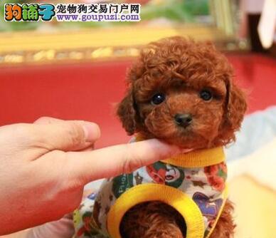 正规狗场直销纯种贵阳泰迪犬 两个月大价格优惠3