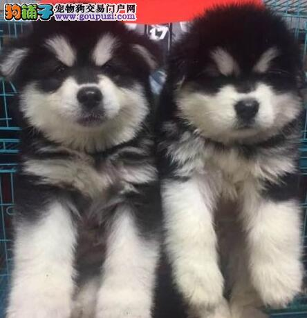 出售杭州阿拉斯加犬 可以随时咨询我们来基地可看父母