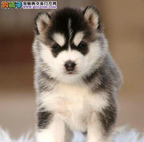 杭州犬舍出售三火双蓝纯种哈士奇幼犬 可刷卡可送货