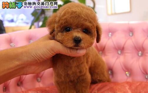 深红色茶杯玩具体型的泰迪犬找新主人 贵阳市内可送货1