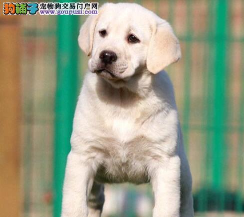 出售自家繁殖的杭州拉布拉多犬 可随时上门选购看种犬
