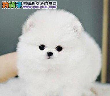 完美品相血统纯正博美犬出售冠军级血统品质保障