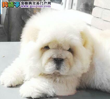 肉嘴紫舌松狮犬 签订正式合同三年联保 深圳出售