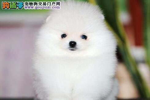 深圳自家狗场出售纯种博美犬 版型多毛色佳品种齐全1