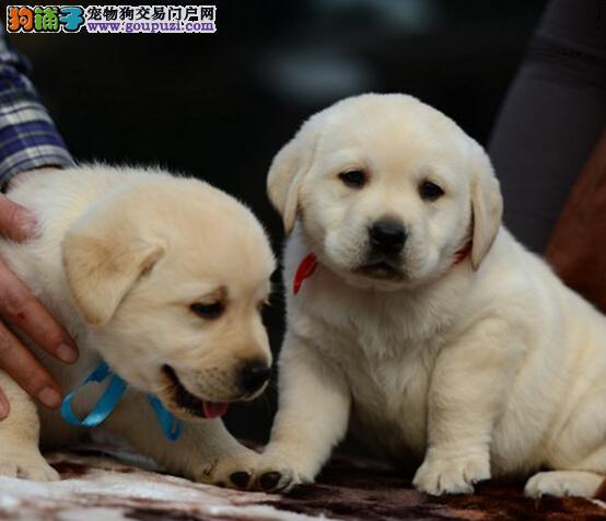 精品高品质拉布拉多幼犬热卖中狗贩子请勿扰