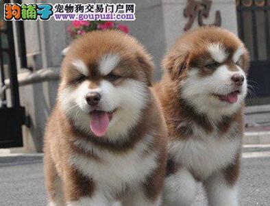 出售纯种阿拉斯加雪橇犬幼犬 保健康 可上门看狗