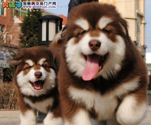 权威机构认证犬舍 专业培育阿拉斯加犬幼犬质保三年支持送货上门