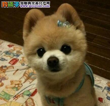 纯种哈多利版博美犬低价出售 南昌地区最低价品质最高3