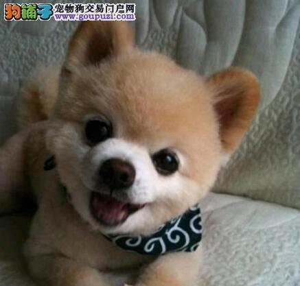 纯种哈多利版博美犬低价出售 南昌地区最低价品质最高1