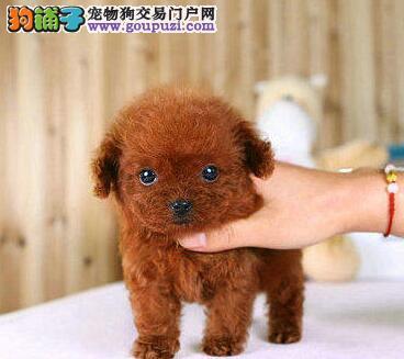 广州哪里有卖贵宾犬 广州白色贵宾犬小型犬