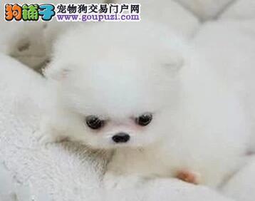 深圳地区可免运费 自家犬舍直销出售哈多利版博美犬