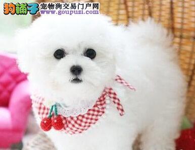 欢迎来深圳犬舍直接购买纯种健康卷毛比熊犬 可签协议