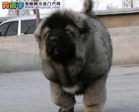 上海熊版大头版大骨架好毛量高加索犬幼犬多只选择