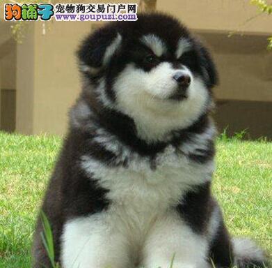 西安自家狗场直销价格出售双十字阿拉斯加雪橇犬