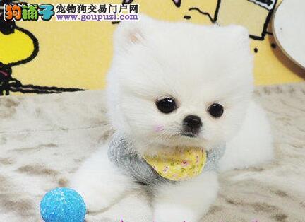 博美犬宝宝热销中、国际血统品质保障、购买保障售后