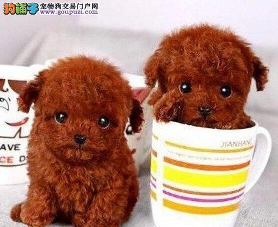 颜色全品相佳的泰迪犬纯种宝宝热卖中全国送货上门