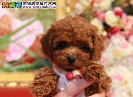 超漂亮大眼睛圆脸广州贵宾犬找新家 客户至上 信誉第一