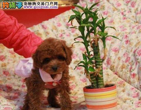 北京贵宾出售正宗韩国CKU血统巧克力 贵宾狗公母都有