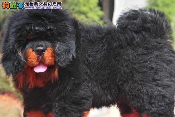 成都铁包金藏獒 狮子头藏獒幼犬 狗场直销纯种保证