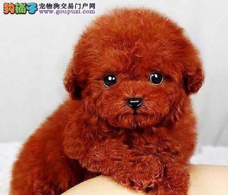 上海萌萌哒泰迪熊犬品相好多只可选健康有保障签协议