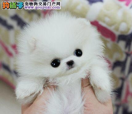小巧可爱的南京博美犬找爸爸妈妈 质量三保 纯种健康
