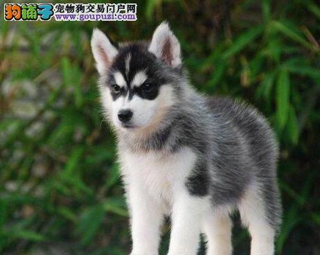 南京知名犬舍出售血统纯正的哈士奇幼犬 多只供挑选